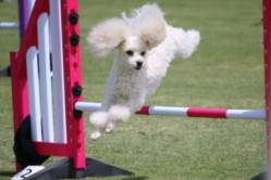 image for Volunteers to assist the National Dog Agility Competition 2021